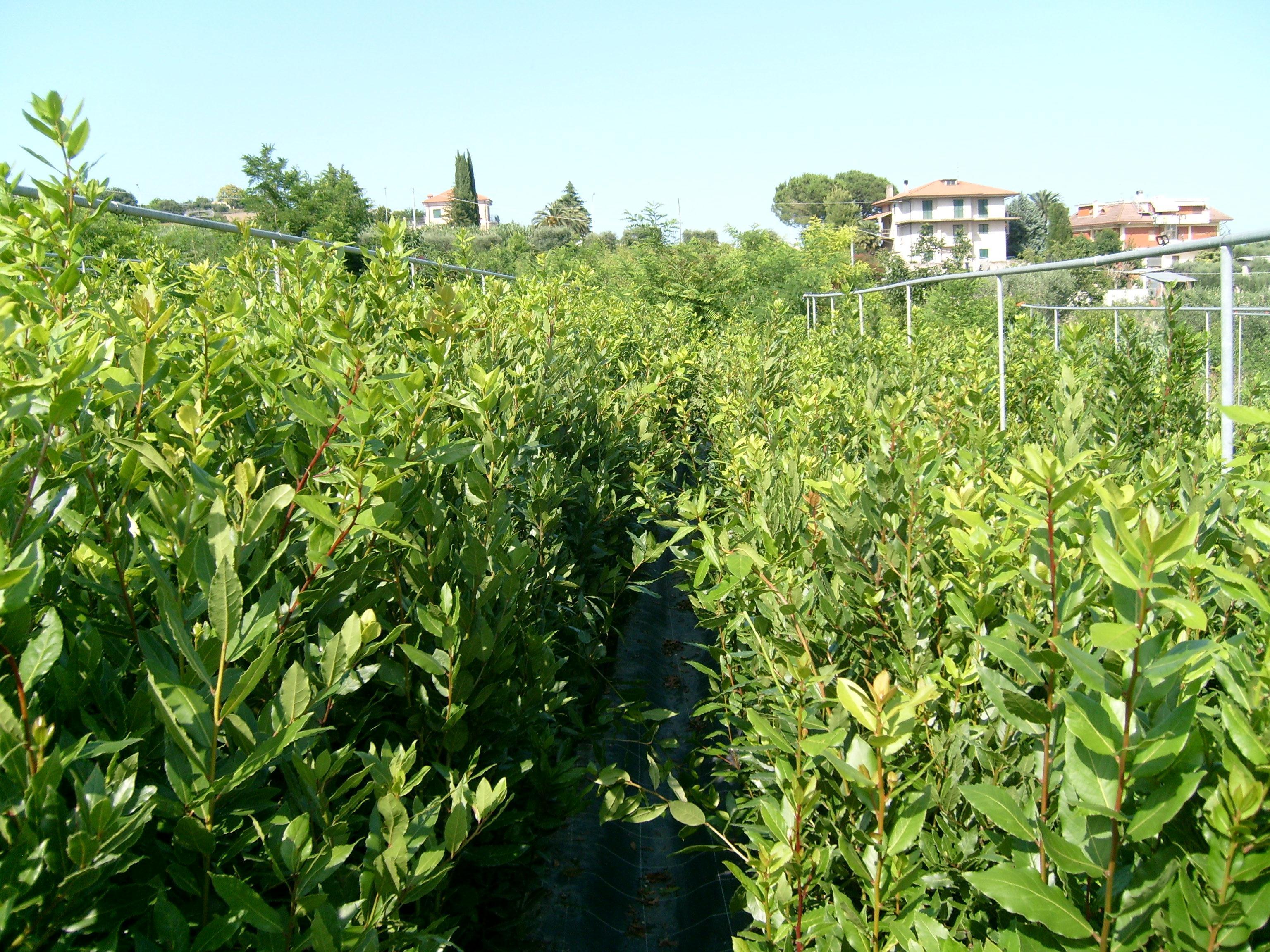 Lauro nobilis vivaio cipolloni for Siepe di lauro