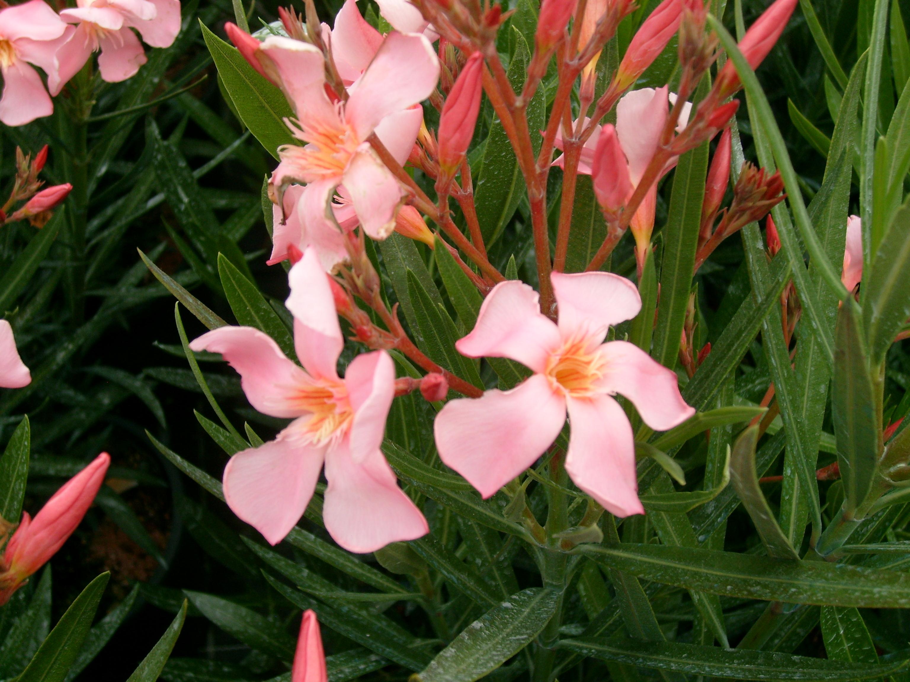 Oleandro salmone vivaio cipolloni for Oleandro riproduzione