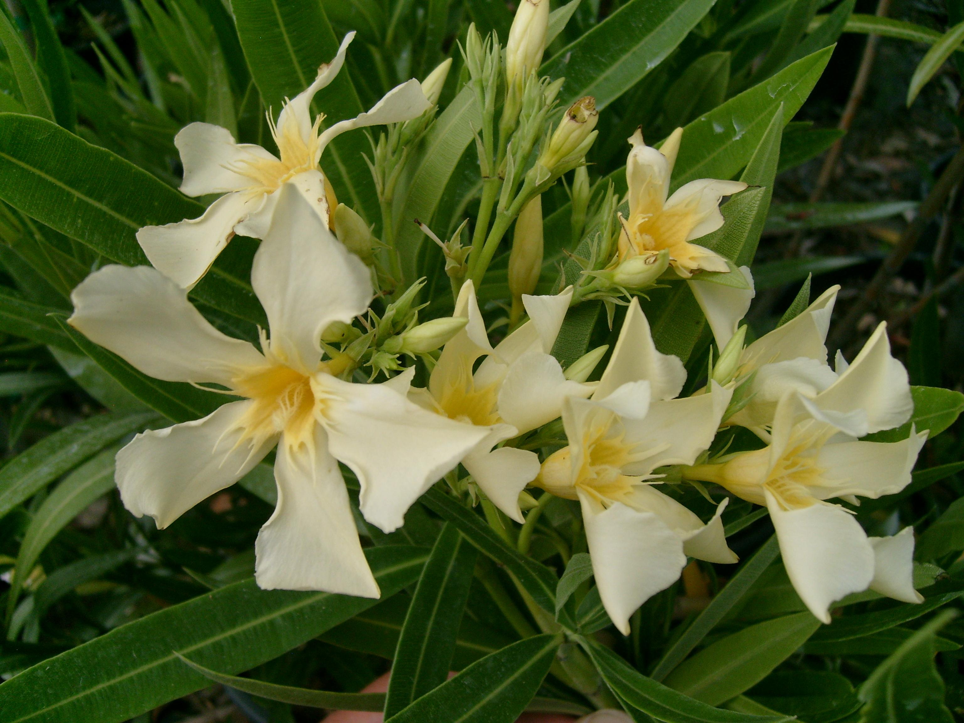 Oleandro giallo vivaio cipolloni for Oleandro riproduzione